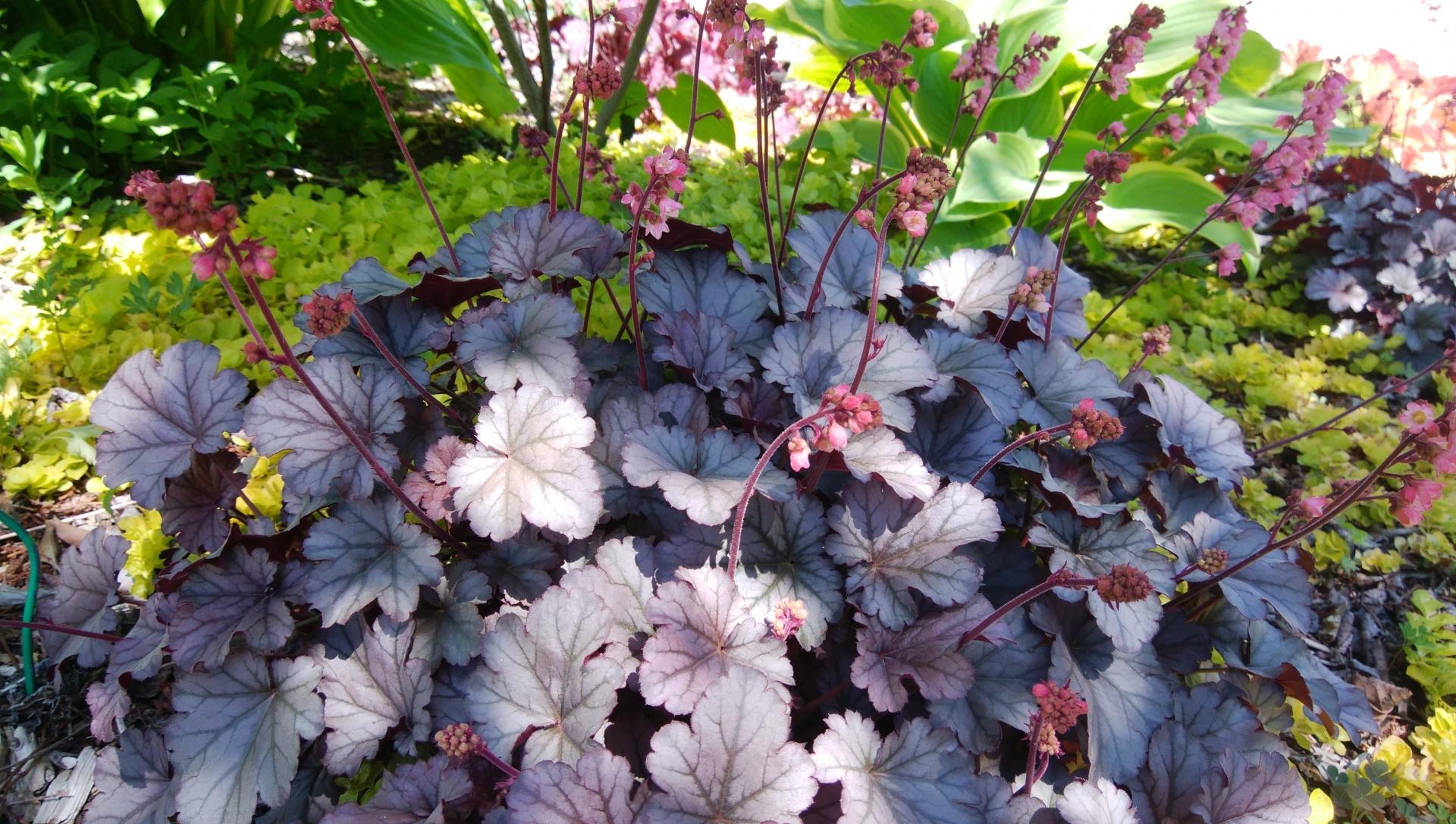 ガーデン用品屋さんの花図鑑 ツボサンゴ