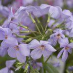 ガーデン用品屋さんの花図鑑 ツルハナシノブ