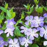 ガーデン用品屋さんの花図鑑 ツルニチニチソウ