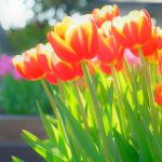 ガーデン用品屋さんの花図鑑 チューリップ