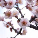 ガーデン用品屋さんの花図鑑 ウメ