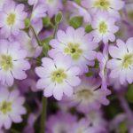 ガーデン用品屋さんの花図鑑 ウンナンサクラソウ