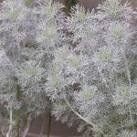 ガーデン用品屋さんの花図鑑 ウルシニア