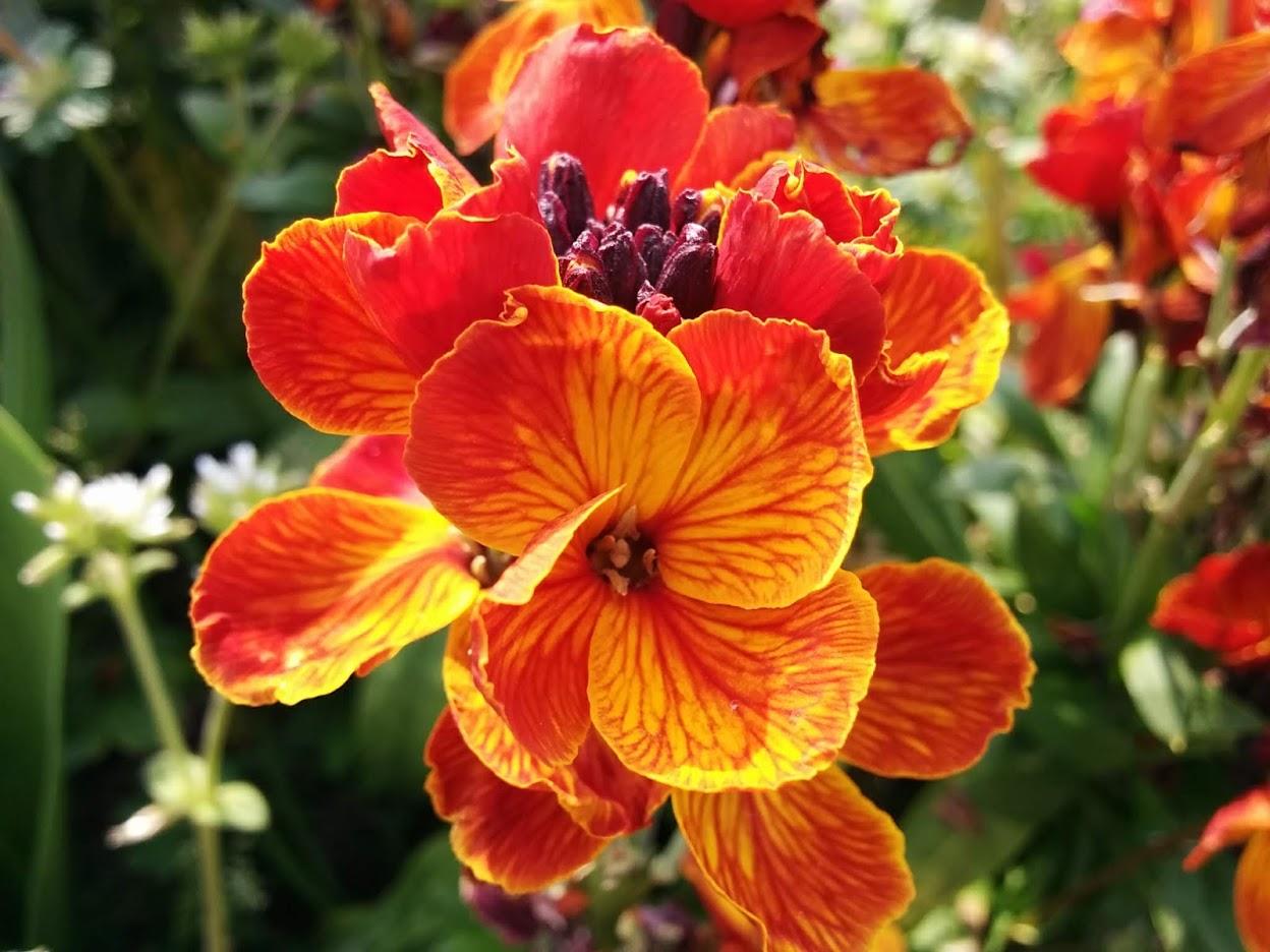 ガーデン用品屋さんの花図鑑 ウォールフラワー