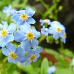 ガーデン用品屋さんの花図鑑 ワスレナグサ