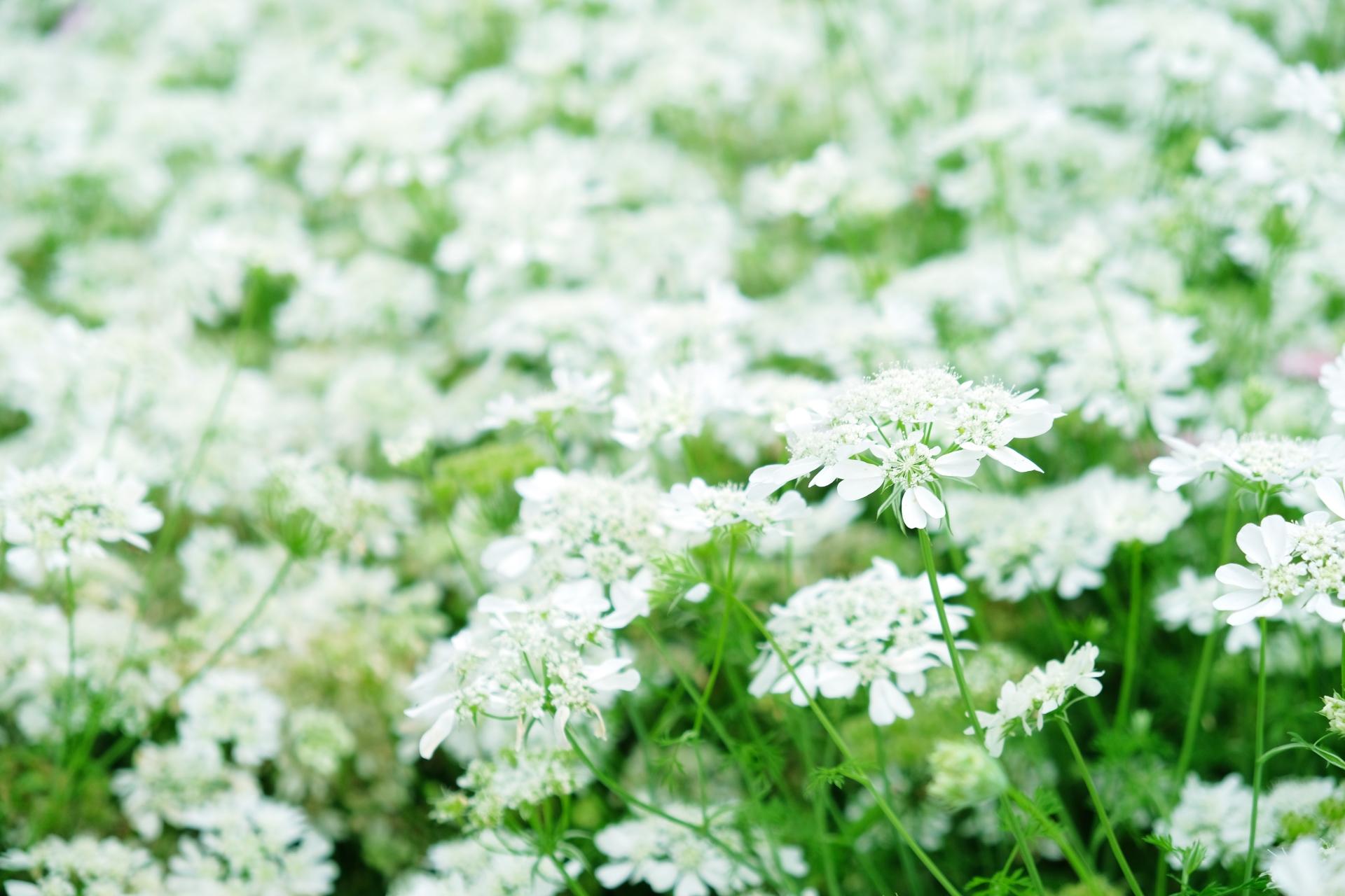 ガーデン用品屋さんの花図鑑 ホワイトレースフラワー