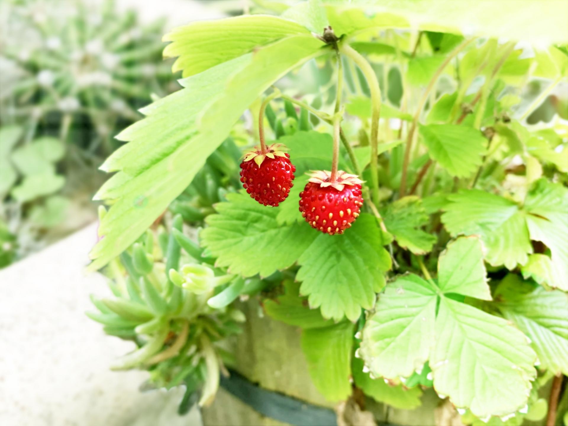 ガーデン用品屋さんの花図鑑 ワイルドストロベリー