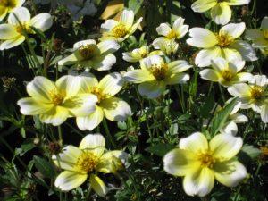 ガーデン用品屋さんの花図鑑 ウィンターコスモス