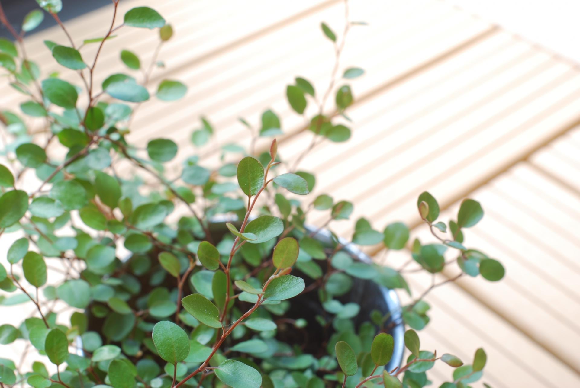 ガーデン用品屋さんの花図鑑 ワイヤープラント