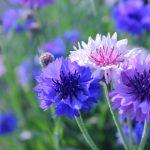 ガーデン用品屋さんの花図鑑 ヤグルマギク