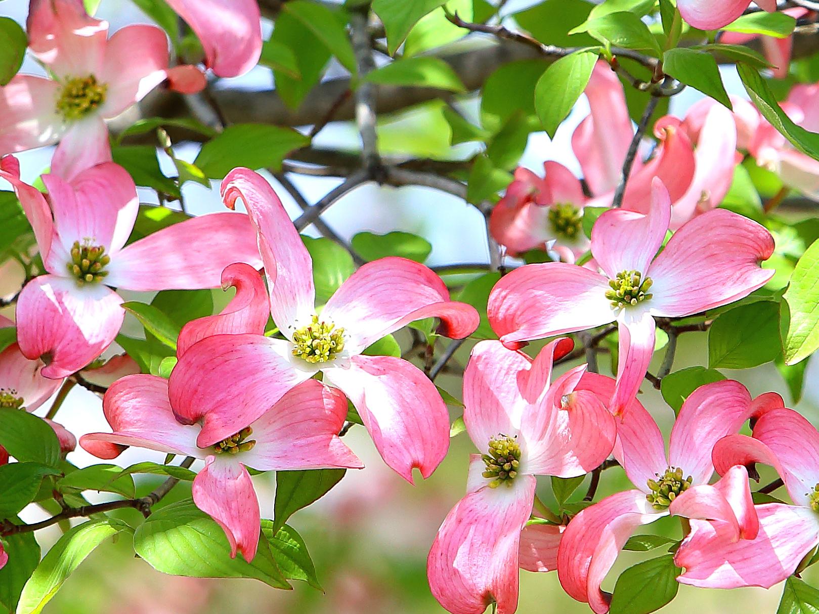 ガーデン用品屋さんの花図鑑 ヤマボウシ