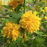 ガーデン用品屋さんの花図鑑 ヤマブキ