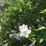ガーデン用品屋さんの花図鑑 ヤマホロシ