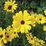 ガーデン用品屋さんの花図鑑 ヤナギバヒマワリ