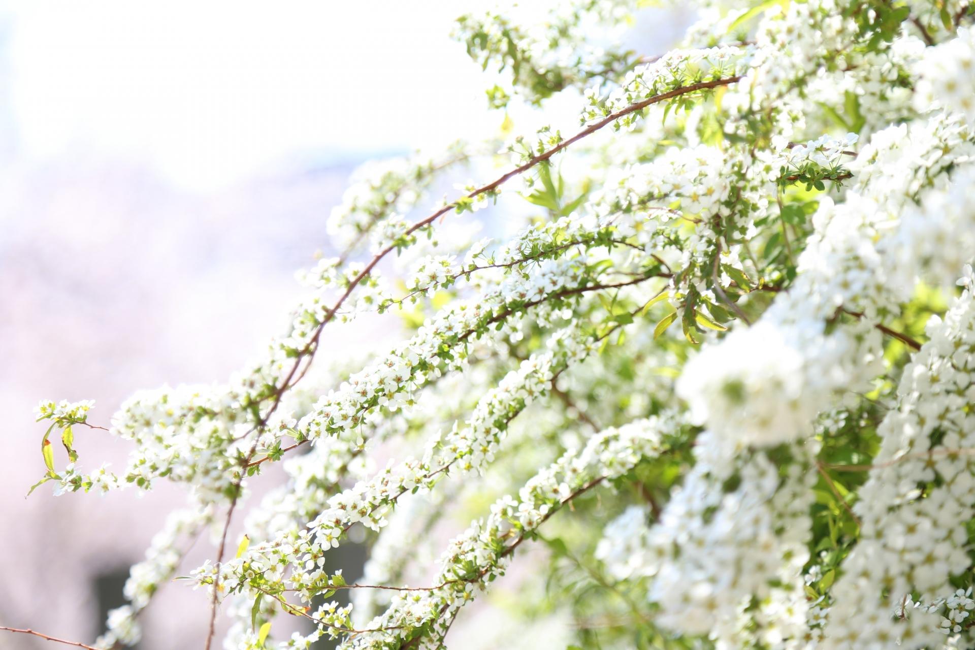ガーデン用品屋さんの花図鑑 ユキヤナギ