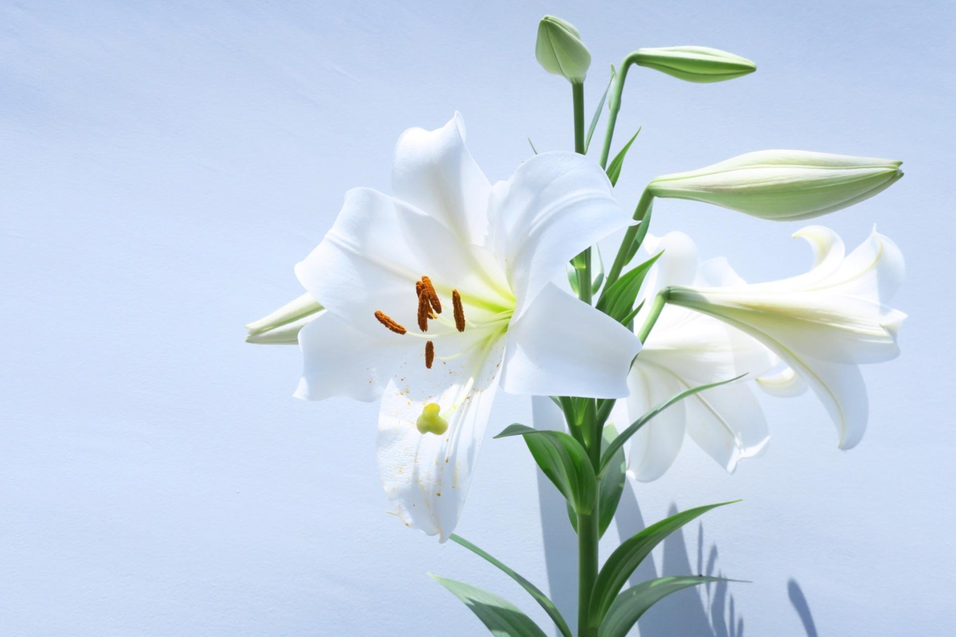 ガーデン用品屋さんの花図鑑 ユリ