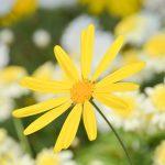 ガーデン用品屋さんの花図鑑 ユリオプスデージー