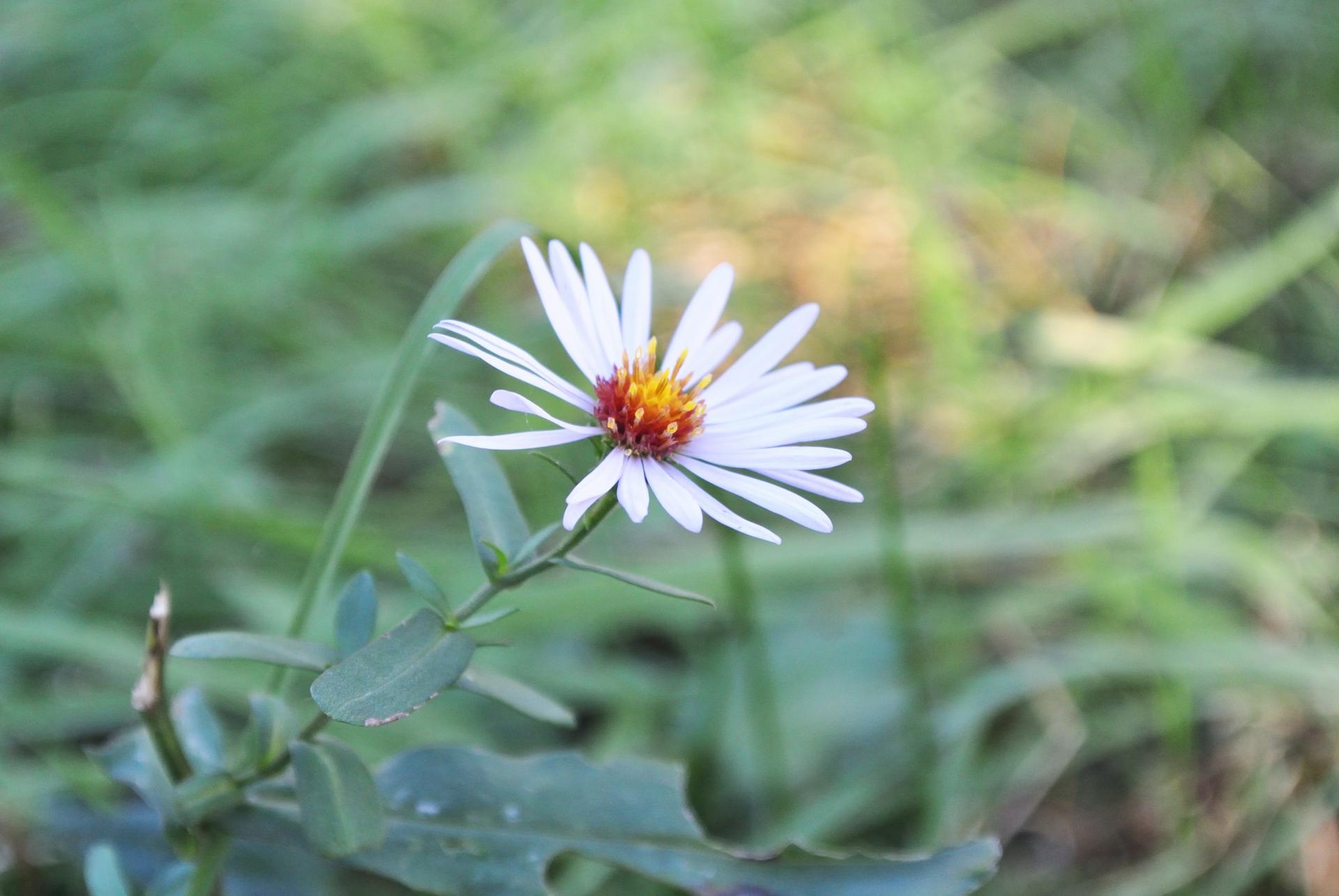ガーデン用品屋さんの花図鑑 ユウゼンギク